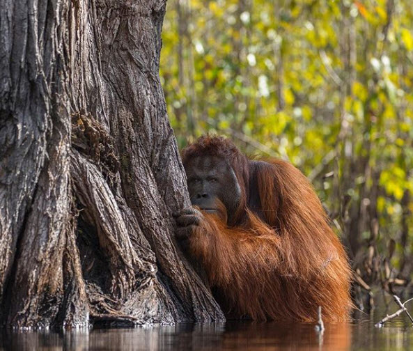 Enormous male orangutan, waist-deep in a river